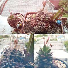 Ma cactus:-) #cactus #flowers by kulisarayuu