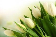 Bokeh Light Tulips White Bouquet HD Wallpaper
