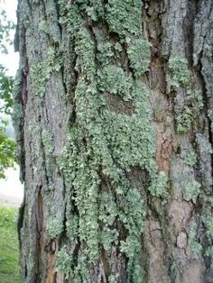 """Lichens on a maple tree.   Neil Sperry Garden Tip: I'm often asked about """"moss"""" growing on tree trunks and branches . People get all excited/worried. THIS IS HARMLESS. These are called """"lichens,"""" and they are a symbiotic growth of funguses and algae that nurture one another. They are no cause for concern. They draw nothing from the supporting plant. In fact, proving that to the ultimate, you'll even see lichens growing on boulders – and they haven't killed a boulder yet!"""
