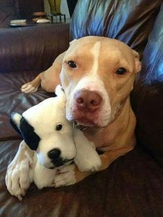 Cute #PitBullPics