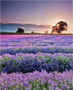 lavender.smell good.