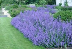 full sun perenn - Catmint Nepeta Walkers Low perennial herb plant scented leaves lilac - blue flowers loved by bees and butterflies House Landscape, Landscape Design, Garden Design, Front Yard Plants, Garden Borders, Landscaping Plants, Shade Garden, Dream Garden, Garden Planning