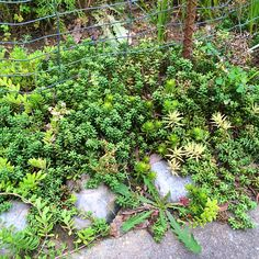 Succulent ground cover zone7a gardening