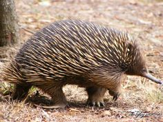 (̆̃̃Another of Australia's wonderful creatures the echidna is one of only two monotremes or egg-laying mammals in the world, (the other being the platypus)