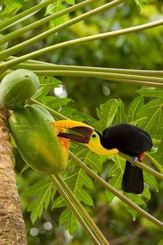 Tucán comiendo papaya, COSTA RICA. VMA.