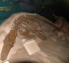 Image detail for -Louisville Fossils and Beyond: Mosasaur Fossils