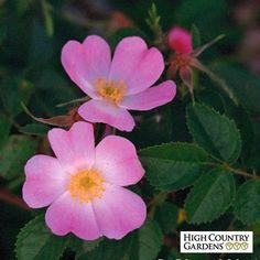 Fragrant Sweet Briar Rose, Rosa eglanteria, Cheryl Netter