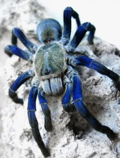 A spider with pretty blue legs.