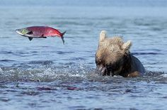 Salmon Leaping from Lake to Escape Bear, Kamchatka, Russia - Pixdaus