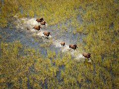 Picture of wild horses running through marsh in Broome, Australia