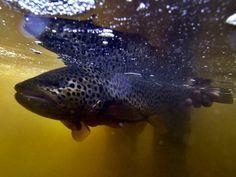 Fliegenfischen: Lachsangeln in Kola in Russland | Dicht am Fisch