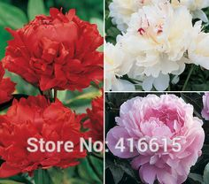 Herbaceous Peony Seeds Fragrant Peony Collection Seeds Three Mixed Color Peony Flower Seeds Bonsai Perennial Garden Plant Seeds