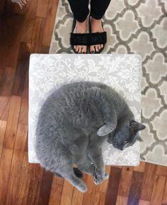 O gatinho cinza mais fofinho do mundo, esse é o Pickles <3