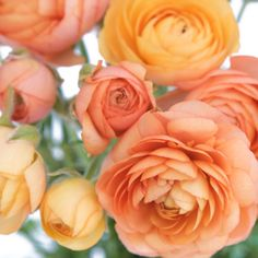 Ranunculus Apricot Blend $129.99 for 50 - I've never seen these before but they're gorgeous! Like carnations and roses combined <3