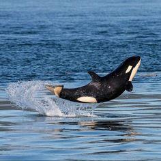 Um pequeno filhote de orca de seis meses foi fotografado no Mar de Salish, perto…