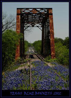 Texas Bluebonnets   Llano TX 2012 by cptesco, via Flickr