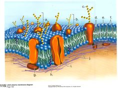 Biology Pictures Large collection of high quality biology pictures photos images illustrations diagrams and posters on marine biology cell biology microbiology for educat. Biology Classroom, Biology Teacher, Cell Biology, Teaching Biology, Science Biology, Marine Biology, Life Science, Membrane Structure, Cell Membrane