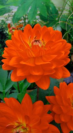 "~~Dahlia Karma Irene | Decorative Red Orange that is vibrant and sparkling. Grows to 3 ft high with 5 to 6"" blooms. Produces a high number of flowers, starts early and they keep on blooming all summer long 