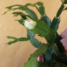 Flor de Maio em janeiro