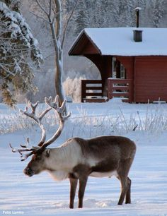 Beautiful reindeer in Northern Sweden Snow Scenes, Winter Scenes, Beautiful Creatures, Animals Beautiful, Cute Animals, Voyage Suede, Lappland, Scandinavian Countries, Sweden Travel
