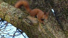 Wildlife watching in Perthshire #scotland #wildlife #scottish #animals #redsquirrel
