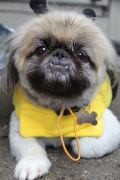 """BoBo"" dressed up as a bumble bee ;D. Peke"