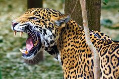 Here you can compare Jaguar vs Panther fight. Go further to know Panther vs Jaguar comparison, difference and similarity. Animal Jaguar, Jaguar Leopard, Angry Animals, Animals And Pets, Jaguar Tier, Chat Lion, Jaguar Pictures, Jaguar Wallpaper, Jaguar Tattoo