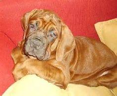 Korean Mastiff Dog Breed