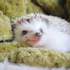 animals hedgehog CUTE LITTLE CUTE PET - HEDGEHOG - Page 19 of 52 cuties;due to racial habits; Pygmy Hedgehog, Baby Hedgehog, Hedgehog Food, Jing Y Jang, Animals And Pets, Funny Animals, Animal Pictures, Cute Pictures, Cat Dog