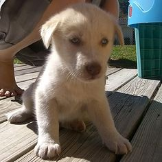 yellow labs with blue eyes | Labs and Goldens | Yellow lab ...