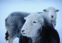 Herdwick sheep, beautiful faces...and smiling!