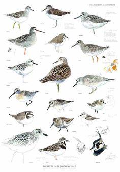 Spring birds 50 x 70 cm - Lars Jonsson Animal Plates, Scientific Drawing, Bird Illustration, Illustrations, Picture Places, Spring Birds, Sea Birds, Bird Species, Animal Drawings