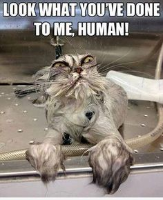 Human.. | Cat Meme    only those who have bathed a cat can truly appreciate this and like OMG! get some yourself some pawtastic adorable cat shirts, cat socks, and other cat apparel by tapping the pin!