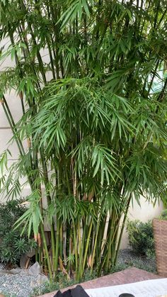 Bamboo Plants, Patio Plants, Outdoor Plants, Outdoor Gardens, Balcony Privacy Plants, Patio Tropical, Tropical Garden Design, Tropical Gardens, Florida Plants Landscaping
