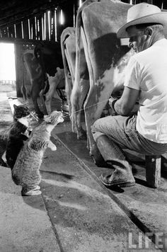 Cats catching squirts of milk during milking at a dairy farm in California, 1954 {COVER LIFE MAGAZINE}