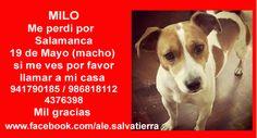 MILO Me perdi por Salamanca 19 de Mayo (macho) si me ves por favor llamar a mi casa  941790185 / 986818112/4376398 Mil gracias  https://www.facebook.com/ale.salvatierra