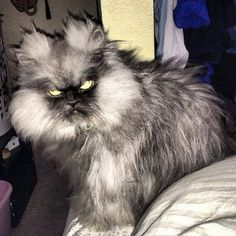 World's angriest cat lives in Seattle