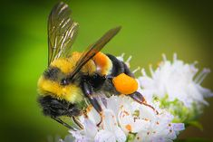 Rusty Patch Bumblebee Officially Recognized As Endangered Species