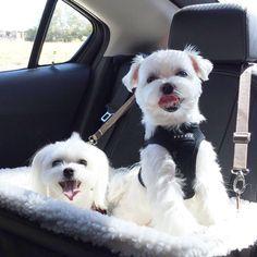 Our new ride!!!!! #arodwang #maltese #baileybee #puppylove #doglover #whitedog #aplacetolovedogs #dogoftheday #petlove #puppy #animalphotos #mydogiscutest #baileybee