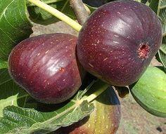 10 Rare Sweet Common Fig Fruit Fresh Tree Seeds, Fig 'Brown Turkey' Flavor Sweet #RareSweetCommonFig