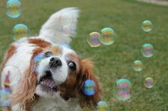 ♥Bubbles will do if there are no butterflies to chase!