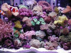 Reef Tank, which contains an amazing Percula Clown pair Yellow Citron Goby… Coral Reef Plants, Coral Reef Aquarium, Saltwater Aquarium Fish, Saltwater Tank, Marine Aquarium, Coral Reefs, Nano Reef Tank, Reef Tanks, Aquarium Marin
