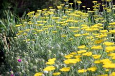 Achillea 'Coronation Gold' also known as yarrow is a great tried-and-true plant!