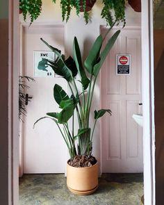 Strelitzia Gigante! Perfeita para uma sala iluminada. ♡ Não precisa de sol direto mas de boa iluminação indireta.