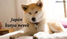 Best Japanese Dog Names for a Tosa, Akita, or Shiba Inu Japanese Spitz Puppy, Japanese Dog Breeds, Japanese Akita, Japanese Dogs, Japanese Names, Shiba Inu, Akita Inu Puppy, Spitz Type Dogs, Spitz Dogs
