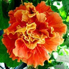 100pcs/bag colorful bonsai hibiscus seeds,