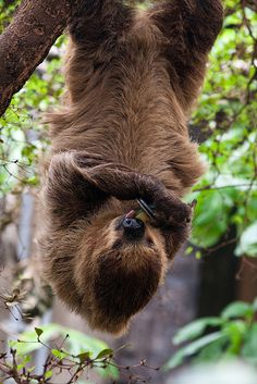 Two-Toed Sloth at ZSL London Zoo by Sophie L. Miller, via Flickr