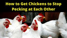 31 Ways  ndash  How to Get Chickens to Stop Pecking at Each Other: Chickens have a natural pecking order and there are a variety of Living scenarios that have a tendency to instigate pecking problems. Chicken Bullying /…