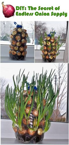Gardening Tips DIY: Endless onion supply - We're right in the middle of spring, the perfect time to start planting flowers, vegetables, herbs, and more! Gardening season is upon us and it's in full swing. Whether you are brand new to gardeni. Growing Onions, Growing Plants, Growing Vegetables, Gardening Vegetables, Growing Seeds, Organic Gardening, Gardening Tips, Gardening Supplies, Indoor Gardening