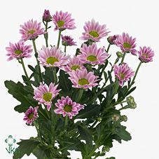 Chrysanthemum Santini Confetti is a pink variety of miniature santini chrysanthemum with a lime green centre. All santini chrysanths are multi-headed, 55cm tall & wholesaled in 25 stem wraps. A superb flower with endless possibilities in floristry.